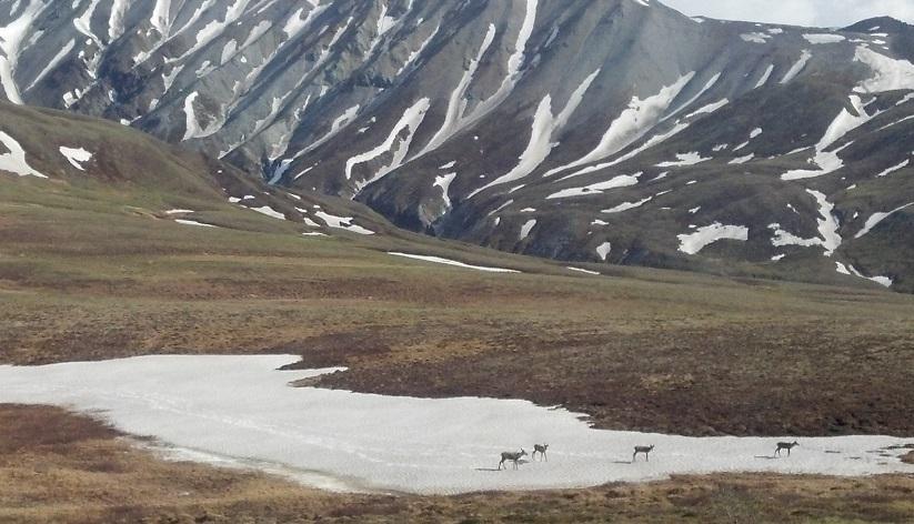 Backpacking Denali Caribou Herd