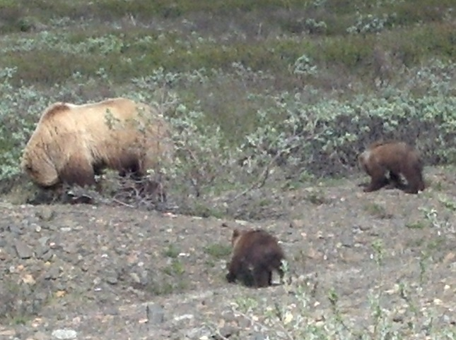Backpacking Denali Grizzly Bear and Cubs